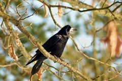 Raven on a branch Royalty Free Stock Photo