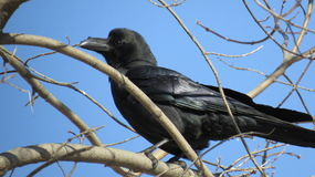 Raven on the branch is going to fly Stock Photo