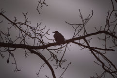 Raven on a branch at night Royalty Free Stock Image