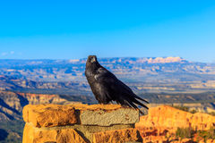 Raven at Bryce Canyon Royalty Free Stock Photography