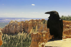 Raven in Bryce Canyon National Park. Black raven on a mountain in Bryce Canyon National Park, Utah, USA Royalty Free Stock Photography