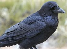 Raven, Canyonlands National Park Royalty Free Stock Images