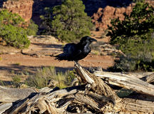 Raven, Canyonlands National Park Royalty Free Stock Photography