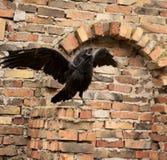Raven Stock Photography