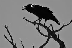 Raven Cawing dans un arbre photographie stock
