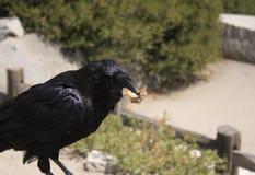 Raven che mangia pane Immagine Stock Libera da Diritti