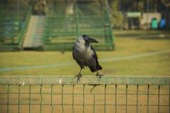 Raven che si siede su un recinto del ferro Immagine Stock Libera da Diritti