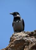 Raven che si siede sulla pietra Immagine Stock Libera da Diritti
