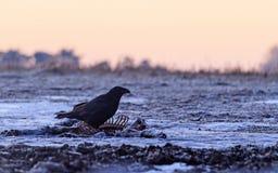 Raven che si siede sulla preda Immagine Stock Libera da Diritti