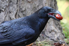 Raven with chestnuts in the mouth. Black raven with chestnuts in the mouth royalty free stock photo