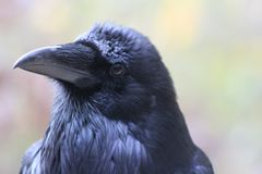 Raven Close-Up photographie stock