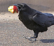 Raven. Close up view of crow holding apple Royalty Free Stock Photo
