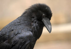 Raven Closeup Royalty Free Stock Photography