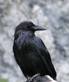 Raven Closeup Stock Photos