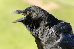 Raven commun Photo libre de droits