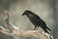 Raven commun Photo stock