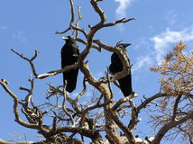 Deux le terrain communal Ravens (corax de Corvus) était perché sur un arbre sec Photo libre de droits