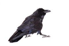 Raven commun d'isolement sur le blanc Photographie stock libre de droits