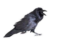 Raven commun d'isolement sur le blanc Photo libre de droits