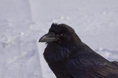 Raven commun marchant dans la neige, Alberta, Canada Images libres de droits