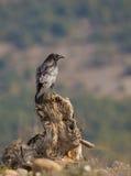 Raven commun sur un rondin Photos libres de droits