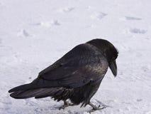 Raven comune che cammina nella neve, Alberta, Canada Fotografia Stock Libera da Diritti