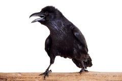 Raven comune isolato su bianco Fotografie Stock Libere da Diritti