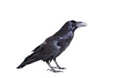 Raven comune isolato su bianco Fotografie Stock