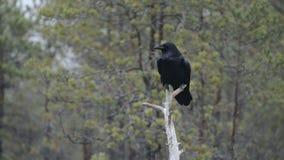 Raven comune sull'albero stock footage