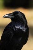 Raven con la luce del fermo nel suoi occhio e piume iridescenti (Corvu Immagini Stock Libere da Diritti
