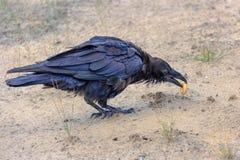 Raven con un bagel in suo becco Fotografia Stock Libera da Diritti