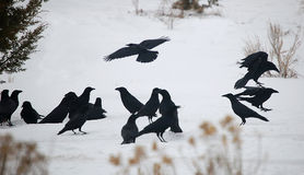 Raven Convention. Flock of ravens on snow stock photo