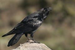 Raven - corax de Corvus, corps de f et plumage image libre de droits