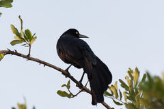 Raven (corax de Corvus) regardant en arrière photos libres de droits