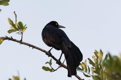 Raven (corax del Corvus) la mirada detrás fotos de archivo libres de regalías