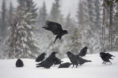 Raven, corax di corvo Fotografia Stock Libera da Diritti