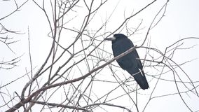Raven corbie sitting on a branch of strong wind, dry tree bird stock footage