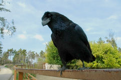 Raven (Corvus corax). A concerned raven (Corvus corax Royalty Free Stock Photo