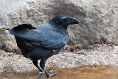 Raven, Corvus corax. Raven, crow family, Corvus corax. The animal is in a zoo Stock Photography