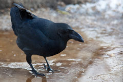 Raven, Corvus corax. Raven, crow family, Corvus corax. The animal is in a zoo Stock Photo
