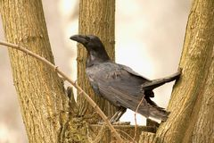 Raven - Corvus corax Stock Photography