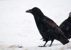 Raven - Corvus corax Stock Image