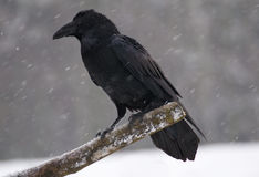 Raven - Corvus corax Royalty Free Stock Photo