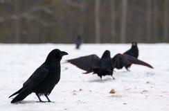 Raven - Corvus corax Royalty Free Stock Image