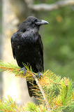 Raven (Corvus corax). Sitting on a tree Stock Photography