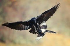 Raven Corvus corax anfaller en skatapicapica i flykten royaltyfri bild