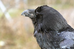 Raven (Corvus corax) Royalty Free Stock Image