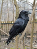 Raven (Corvus corax). Common raven (Corvus corax) in the forest Stock Image