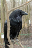 Raven (Corvus corax) Royalty Free Stock Images