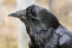 Raven (Corvus corax) Stock Images